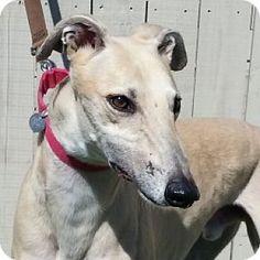 Grandville, MI - Greyhound. Meet FLYING VIZIO, a dog for adoption. http://www.adoptapet.com/pet/12558934-grandville-michigan-greyhound
