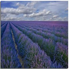 Lavender growing in the fields. May 2011