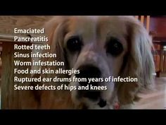Will's Story, blind and still bred in a puppy mill.