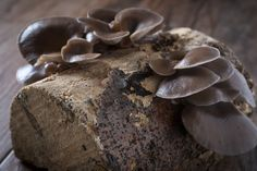 hlíva pěstovaná na špalku Stuffed Mushrooms, Candy, Chocolate, Vegetables, Food, Gardening, Stuff Mushrooms, Essen, Lawn And Garden