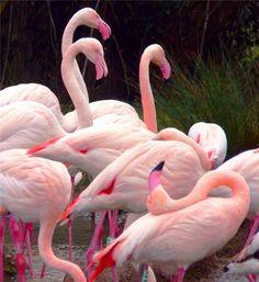 FLAMINGOS - A herd of pink flamingos!