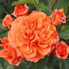 Růže Kordes 'Orangerie' 2L kontejner
