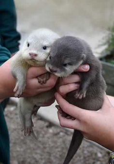 baby otters.....so sweet!