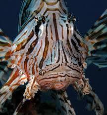 Peixe Leão 2 Peixe Leão