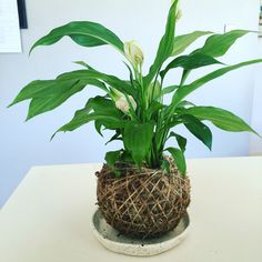 Peace Lily Kokedama, great for a bit of greenery inside.