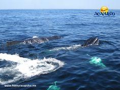 #infoacapulco Los increíbles avistamientos de ballenas en el mar de Acapulco. INFO ACAPULCO. En esta época de invierno, las ballenas buscan aguas más cálidas como las del Puerto de Acapulco, las cuales se pueden ver dando un paseo en lancha e incluso, desde la playa se puede apreciar cómo expulsan chorros de agua cuando respiran. Te invitamos a visitar la página oficial de Fidetur Acapulco, para obtener más información.