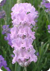 "Little Lottie lavender, 15"" pink, foliage greener than ""Lady Ann."""
