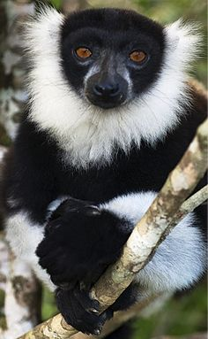 The black-and-white ruffed lemur (Varecia variegata) of Madagascar, Africa. Travel to Madagascar with ISLAND CONTINENT TOURS DMC. A member of GONDWANA DMC, your network of boutique Destination Management Companies for travel across the globe - www.gondwana-dmcs.net