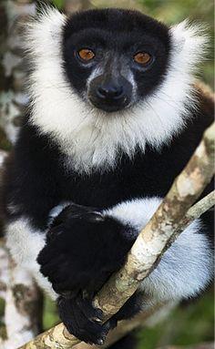 The black-and-white ruffed lemur (Varecia variegata) of Madagascar
