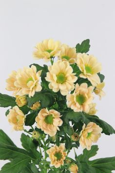 #Chrysanthemum #Chrysant #Santini #Rossi Salmon; Available at www.barendsen.nl