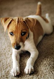 Jack Russell Puppies Training a Jack Russell Terrier - Chien Jack Russel, Jack Russell Puppies, Cute Puppies, Cute Dogs, Dogs And Puppies, Maltese Puppies, Doggies, Terrier Puppies, Bull Terrier Dog