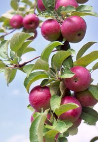 Apple tree trimming learn how and when to prune apple trees gardens fruit garden and trees - Fruit trees every type weather area ...