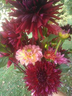 "dahlias. medium/tall (12-18"") burgundy, mix colors. $15.00/bunch"