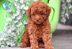 You can get a new puppy today by viewing our adorable newborn puppies of many different breeds! Toy Puppies For Sale, Toy Poodle Puppies, Little Puppies, Baby Puppies, Cute Puppies, Newborn Puppies, Toy Poodles For Sale, Bulldog Breeds, Puppy Breeds