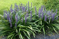 Foto's van Leliegras – Liriope muscari - Dry Garden, Garden Shrubs, Landscaping Plants, Shade Garden, Flower Garden Plans, Garden Yard Ideas, Flowers Garden, Back Gardens, Small Gardens