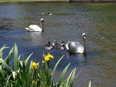 Family Swim In East Hampton's Town Pond - 2008