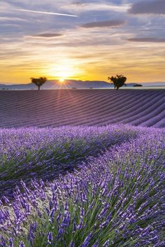 Vertical panorama of a lavender field at sunset - Valensole, Provence, France by Aurélien Laforêt. Beautiful Flowers, Beautiful Places, Beautiful Pictures, Beautiful Scenery, Landscape Photography, Nature Photography, Photography Trips, Photography Hashtags, Photography Outfits