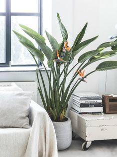 Big Indoor Plants, Big Plants, Tropical Plants, Hanging Plants, Potted Plants, Succulent Plants, Water Plants, Strelitzia Plant, Popular House Plants
