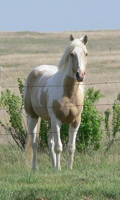 Rare horse - Buttermilk Buckskin Paint Mustang mare named Kiss Me Kate.