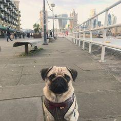 We ♥️ you LDN!  #londonpug #towerbridge #gerkin #thamespath #pug #pugsofinstagram #instapug #puglife #puglove #poochusir #harness #sirvincenzo #londonlove #pugsinbowties #dapperpug #happysunday #sundayfunday #6mileslater #centrallondon #ldn #london #uk