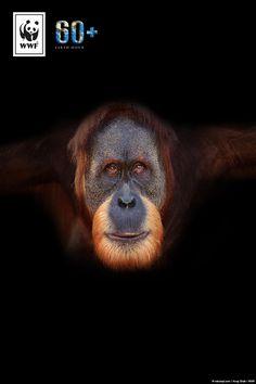 Der Klimawandel bedroht das Zuhause des Sumatra Orang-Utans! Eine von sechs Tierarten ist durch den Klimawandel vom Aussterben bedroht. Macht mit bei der #EarthHour und setzt ein Zeichen für mehr Klimaschutz. Denn Klimaschutz ist Artenschutz!