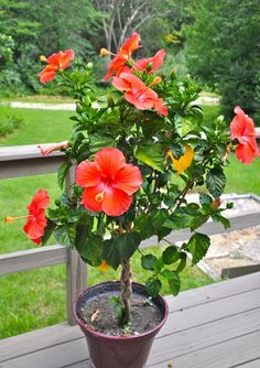 Braided hibiscus tree-bought mom one of these in memory of our Bailey Girl- RIP sweet girl Hibiscus Flower Drawing, Hibiscus Tree, Hibiscus Flowers, Exotic Flowers, Tropical Flowers, Beautiful Flowers, Flower Drawings, Hawaiian Flowers, Exotic Plants