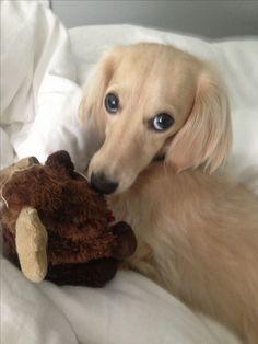 Most adorable face. English cream dachshund