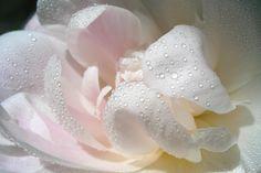 Tau auf der Blüte 1