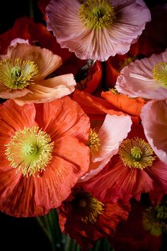 coquelicots... 'reds'  Coquelicot was originally a French vernacular term for wild corn poppy.