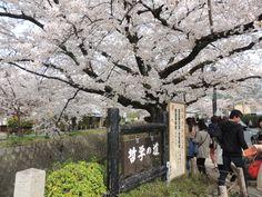 京都の桜の名所、銀閣寺前の哲学の道。 疎水の両側に満開の桜があるのは、とても美しい光景です。 http://kyotonote.com/ginkakuji/