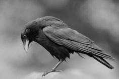 crow looking down