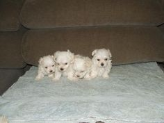 Teacup Maltese Puppies For Sale Extremely tiny Maltese Baby Girls and boys, Mom and Dad are between 2 and 3 pounds.Pampered and Spoiled everyday with lots of love and interaction with family and Teacup Maltese For Sale, Maltese Puppies For Sale, Teacup Puppies, Maltese Dogs, Dogs And Puppies, Baby Girls, Little Girls, 3 Pounds, Puppys