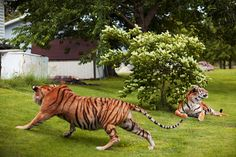 tigers in paradise