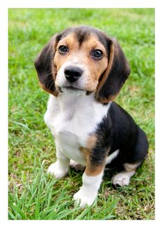 Sweet little BEAGLE PUPPY dog sits on the grass by MarieDolphin, $13.00
