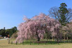 上賀茂神社 Cherry blossoms SAKURA in Kyoto JAPAN