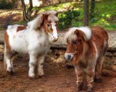 fotos-de-animales-caballos-ponies-pony-horse