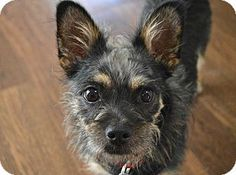 Los Angeles, CA - Yorkie, Yorkshire Terrier/Dachshund Mix. Meet Samson, a puppy for adoption. http://www.adoptapet.com/pet/13481741-los-angeles-california-yorkie-yorkshire-terrier-mix