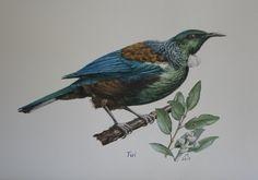 Tui  watercolour  Jane Sinclair New Zealand, Watercolour, Nativity, Birds, Tattoos, Illustration, House, Painting, Animals