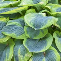 Hosta Frances Williams, Variegated Plantain lily, Plantain Lily 'Frances Williams', Shade perennials, Plants for shade