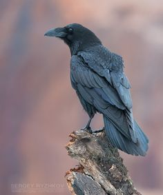 Raven (Corvus Corax) photographed by Sergey Ryzhkov.