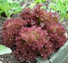 How to Grow Lettuce By Following My  Disaster-Proof Tips and Instructions