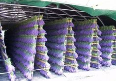 Lavender drying on racks before going to market