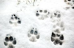 Dog snow prints