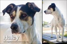Petango.com – Meet Haley, a 4 years 4 months Hound / Terrier available for adoption in LUFKIN, TX