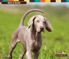 Origen: Alemania Tamaño: Aprox. de 57 a 70 cm. Conoce más de este dócil amigo en: http://www.universomascotas.co/razas/perros/braco-de-weimar/115