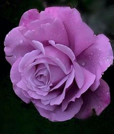 Rose Flower Pictures, Beautiful Flowers Pictures, Amazing Flowers, Beautiful Roses, Lavender Roses, Purple Roses, Blue Moon Rose, Coming Up Roses, Happy Flowers