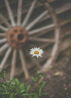 a lone daisy. Flower Yellow, My Flower, White Flowers, Anemone Flower, Sunflowers And Daisies, Beautiful Flowers, Daisy Flowers, Daisy Hill, Daisy Love