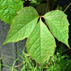 Pictures of Poison Ivy: Pictures of Vines Mistaken for Poison Ivy