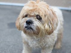 SAFE 5-10-2016 by Friends of Homeless Animals. --- SUPER URGENT Brooklyn Center PUGGY – A1071538  FEMALE, GOLD, POODLE MIN MIX, 3 yrs STRAY – STRAY WAIT, HOLD FOR ID Reason STRAY Intake condition EXAM REQ Intake Date 04/26/2016 http://nycdogs.urgentpodr.org/puggy-a1071538/