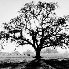 Ansel Adams - Oak Tree, Sunrise - art prints and posters White Oak Tree, Black And White Tree, Black And White Landscape, Ansel Adams Photography, Art Photography, Oak Tree Tattoo, Tree Tattoos, Tree Silhouette, Landscape Photographers
